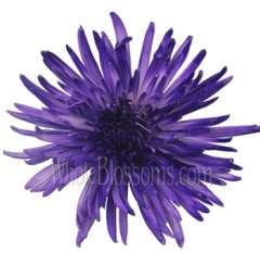 Spider Mum Anastasia Purple Airbrushed