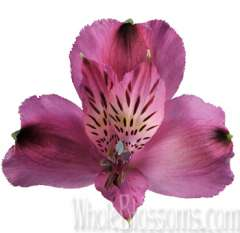 Purple Alstroemeria Flower