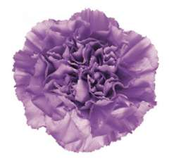 Moonlite Purple Carnation