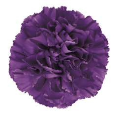 Moonshade Purple Carnation