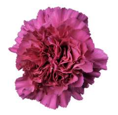Purple Carnation Flower for Valentine's Day