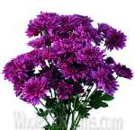 Chrysanthemum Cushion Pom Purple Fuchsia Flower