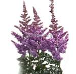 Premium Wholesale Astilbe Lavender Purple Flower