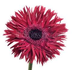 Spider Gerbera Daisy Purple Flower