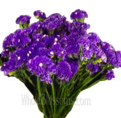 Tissue Culture Statice Blue Purple Flower