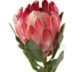 Queen Protea Flower