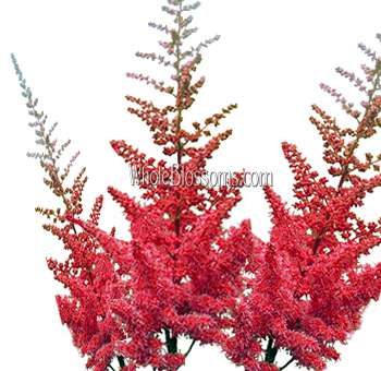 Astilbe Red Flowers Wholesale