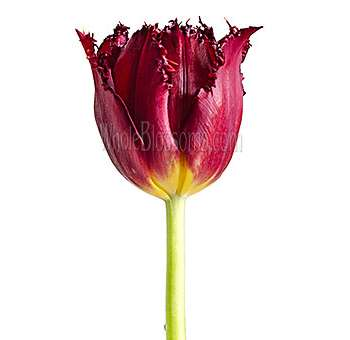 Fringed Tulips Red