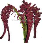 Red Hanging Amaranthus Imported