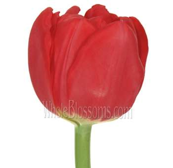 Double Tulips Red largo