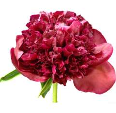 Peonies Wholesale Dark Red Flower