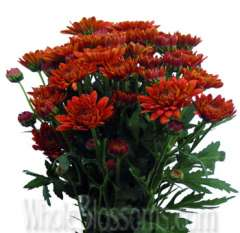 Cushion Pom Chrysanthemum Red Flower