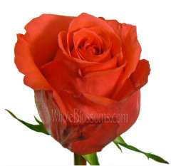 Rock Star Orange Rose