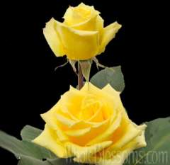 Santa Fe Yellow Rose