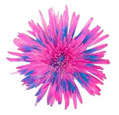 Blue Hot Pink Spider Mums