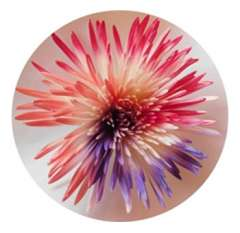 Spider Mum Flower Pink -Sky blue lime Green Tinted