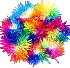 Rainbow Spider Mums - Multicolored