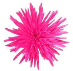 Spider Mums Hot Pink Flowers Airbrushed