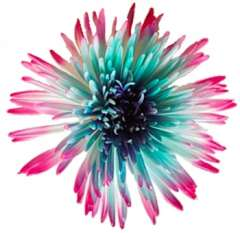 Spider Mums Hot Pink Turquoise