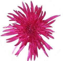 Spider Mums Hot Metallic Glitter Hot Pink Flowers