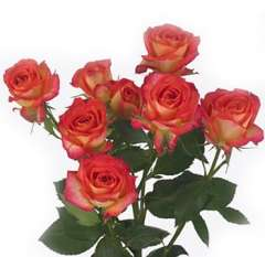 Spray Roses Bicolor