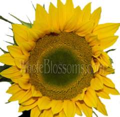 Sunflowers Yellow Green Center | Medium
