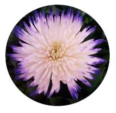 Tip Purple Mums Anastasia Flower