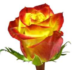 High & Magic Bicolor Organic Roses