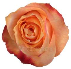 Twilight Light Orange Roses