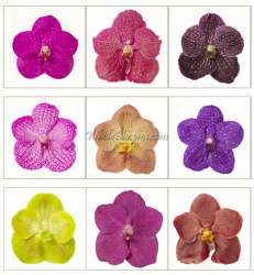 Vanda Orchids Assorted