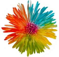 Parrot Spider Mums Multicolor Flowers
