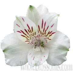 White Alstroemeria Flower
