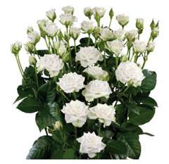 Valentine's Day White Spray Roses