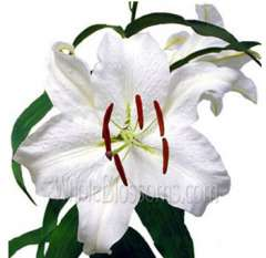 Oriental Lily White Flowers