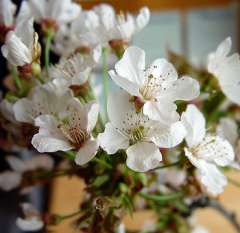 Cherry Blossom Branches White [1.5-3 Feet]