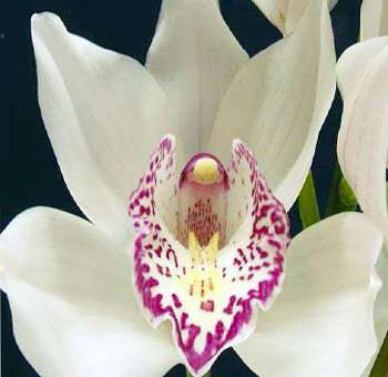 White Cymbidium Orchid Red Lip