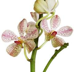 White Mokara Orchid Christine Flower