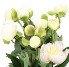 White Peony Flowers for Wedding