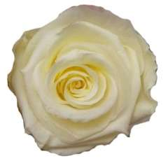 White Preserved Roses Biological