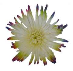 White Spider Mums with Multicolor Tips