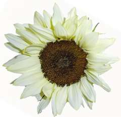 White Sunflowers Dark Center | Medium