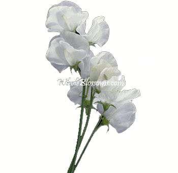 White Sweet Peas Flowers Wholesale Wedding FlowersWhite Sweet Pea Flower