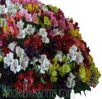 Wholesale Alstroemeria
