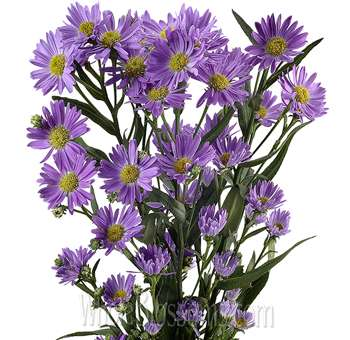 Wholesale Aster