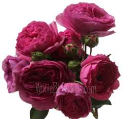 Baroness Garden Roses - Single Stem