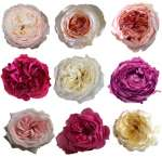 Garden Roses 24 Pack By Variety