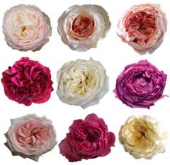 Garden Roses 96 Pack By Variety
