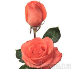 Wow Orange Rose