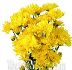 Cushion Pom Chrysanthemum Yellow Flower