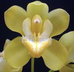 Mini Yellow Cymbidium Tropical Orchid